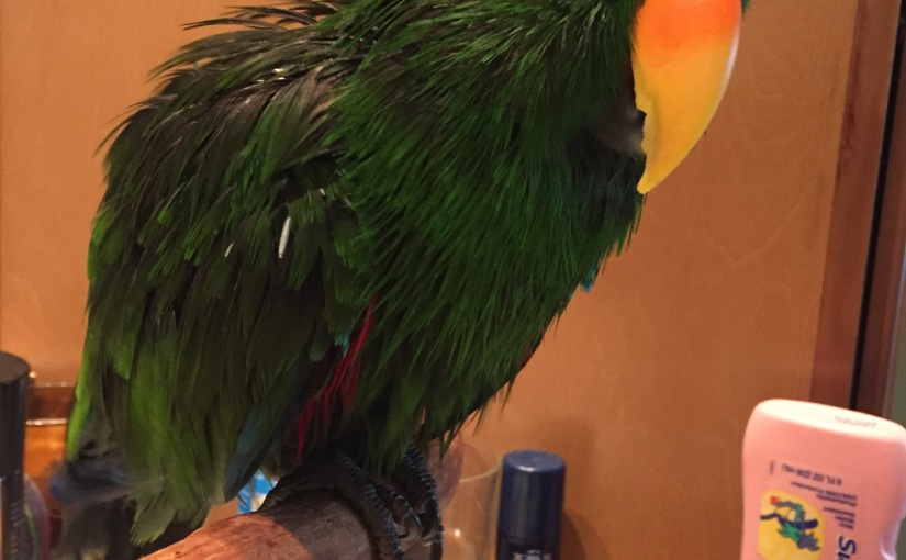 Eclectus Mojo Moult: A Picture ofPinfeathers