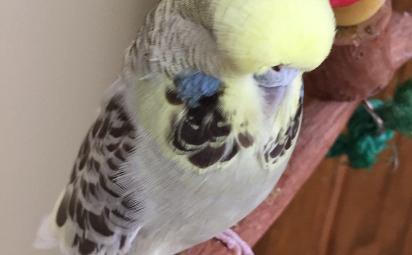 A Blue Cere in a Female Budge = A Tumor