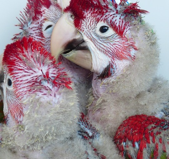 A Parrot: The Forever Two-Year-Old