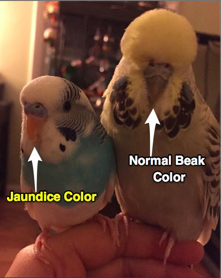 Jaundice Budgie Beak