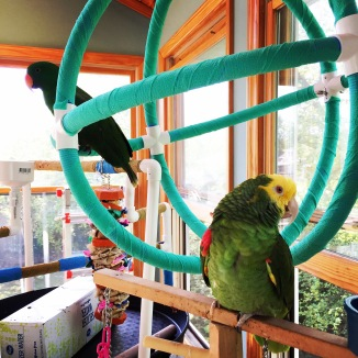 An amazon and an eclectus parrot hang out on two playgyms.