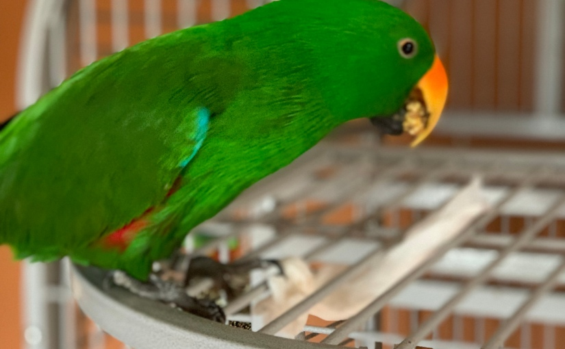 Holy Liver Values, Batman! How We Lowered Our Eclectus' Cholesterol Through Diet